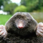 http://en.wikipedia.org/wiki/File:Close-up_of_mole.jpg