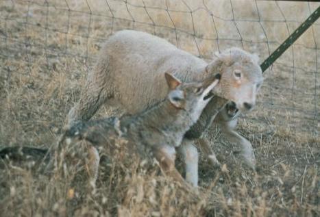 Can Cats Eat Lamb