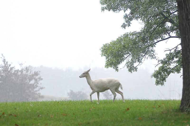 http://en.wikipedia.org/wiki/File:White_deer_argonne.jpg