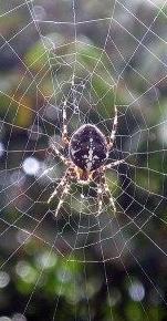 https://commons.wikimedia.org/wiki/File:Spider_vdg.jpg